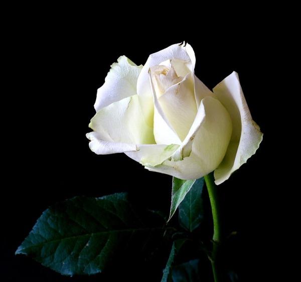 rose-342526_960_720