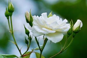 roses-2604125_960_720