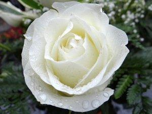 white-rose-2907862__340